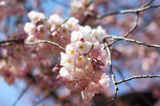 Cherry Blossoms 2013 1
