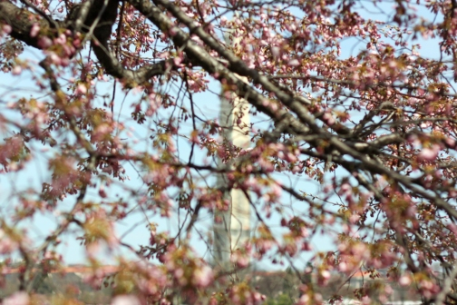 Cherry Blossoms 2013 12