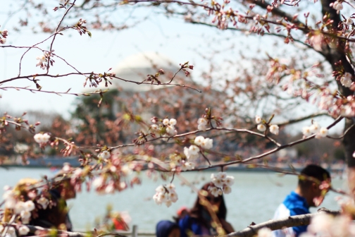 Cherry Blossoms 2013 3