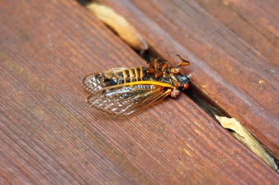 2013 Virginia Cicadas 2