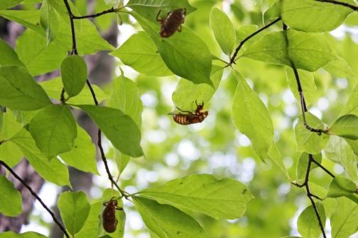 2013 Virginia Cicadas